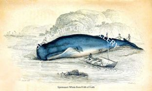 Spermaceti Whale from Frith of Forth